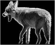 Coyote-Picture