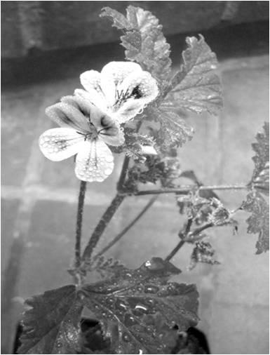 Geranium-Picture